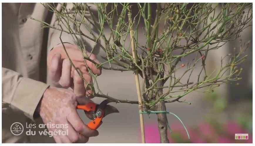 Quand et comment tailler un rosier tige ?